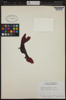 Chamaecalyx fucicola image