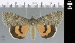 Image of Catocala hermia