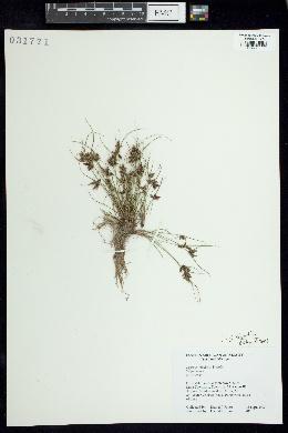 Cyperus bipartitus image