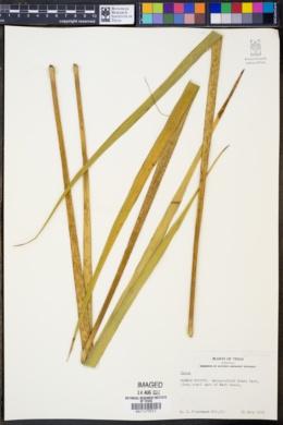 Image of Yucca louisianensis