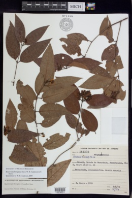 Bronwenia ferruginea image