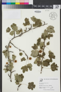 Image of Ribes californicum