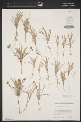 Plantago ovata var. insularis image