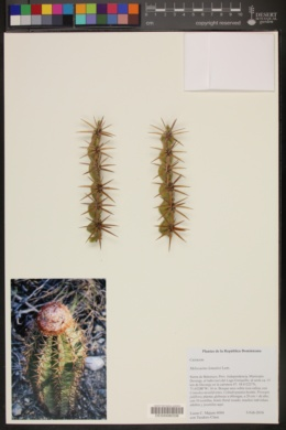 Image of Melocactus lemairei