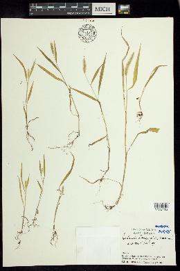 Setaria longipila image