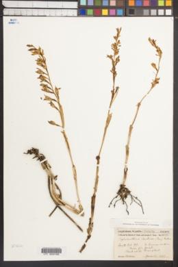 Image of Cephalanthera austinae