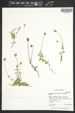 Image of Brickellia pedunculosa
