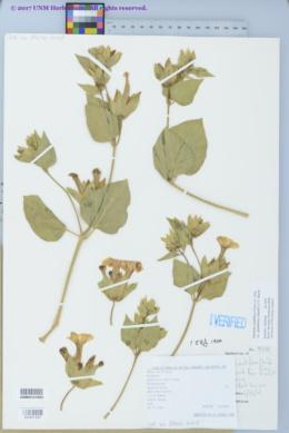 Mirabilis multiflora var. glandulosa image