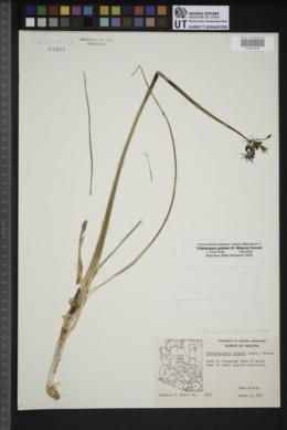 Triteleiopsis palmeri image
