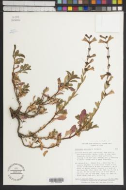 Penstemon leonardii var. patricus image