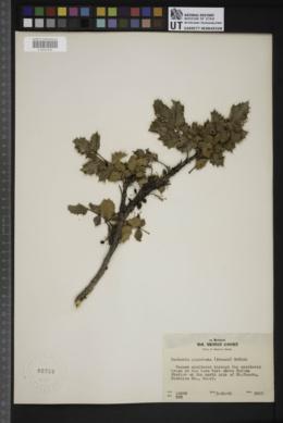 Berberis piperiana image