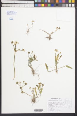Damasonium californicum image