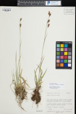 Carex luzulina var. ablata image