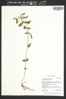 Brickellia parvula image