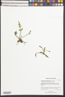 Ceratopteris thalictroides image
