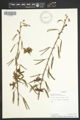 Image of Mimosa polycarpa