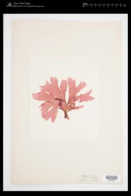 Nitophyllum punctatum image