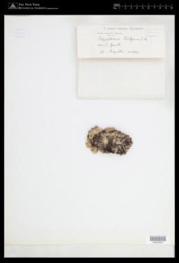 Tayloriella dictyurus image