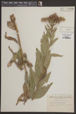 Image of Synthyris missurica