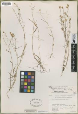 Image of Malacothrix similis