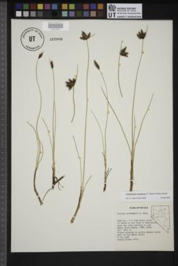 Amphiscirpus nevadensis image