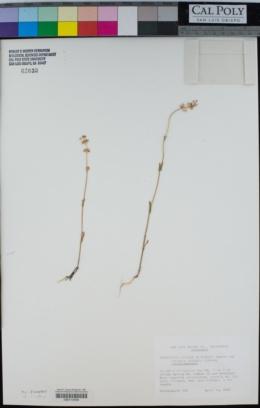 Plectritis ciliosa image