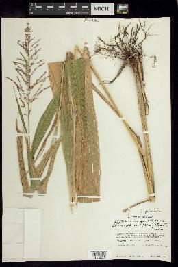 Setaria megaphylla image