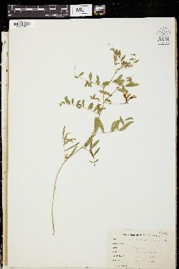 Image of Vicia dissitifolia
