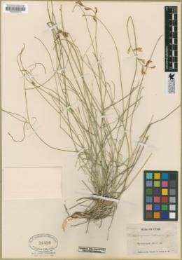 Astragalus coltonii image
