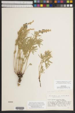 Image of Lupinus lacuum-trinitatum