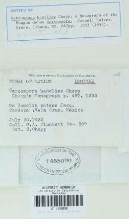 Image of Cercospora hameliae