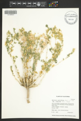 Mentzelia multiflora var. longiloba image