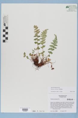 Woodsia cochisensis image