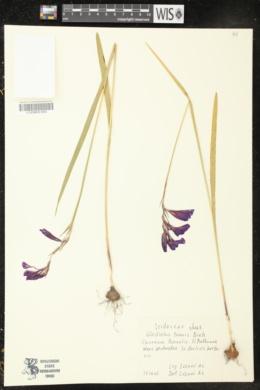 Gladiolus tenuis image