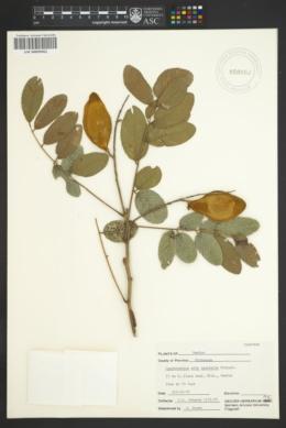 Image of Lonchocarpus eriocarinalis