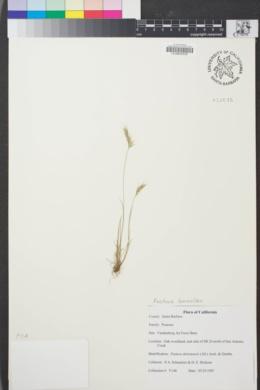 Image of Festuca bromoides