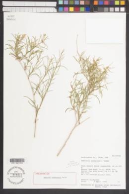 Image of Ambrosia sandersonii