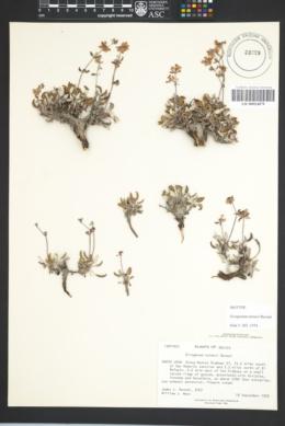 Image of Eriogonum turneri
