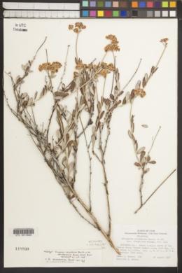 Eriogonum x duchesnense image