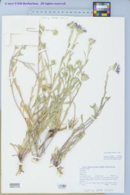 Image of Townsendia eximia
