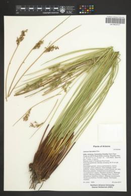Juncus laccatus image