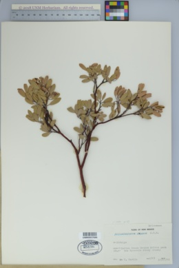 Arctostaphylos pungens image
