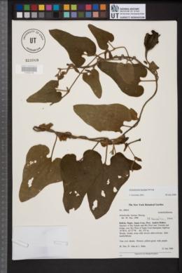 Image of Aristolochia burelae
