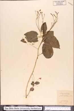Impatiens parviflora image