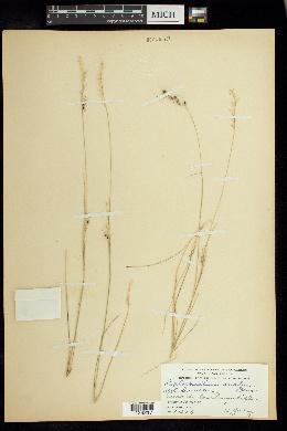 Image of Piptochaetium ovatum