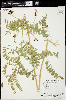 Image of Astragalus cooperi