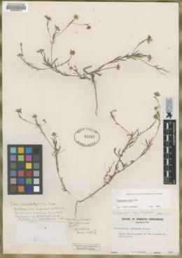 Pentachaeta lyonii image
