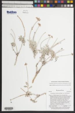 Eriogonum corymbosum var. heilii image
