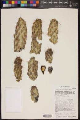 Cylindropuntia fulgida image
