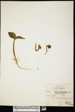 Couroupita guianensis image